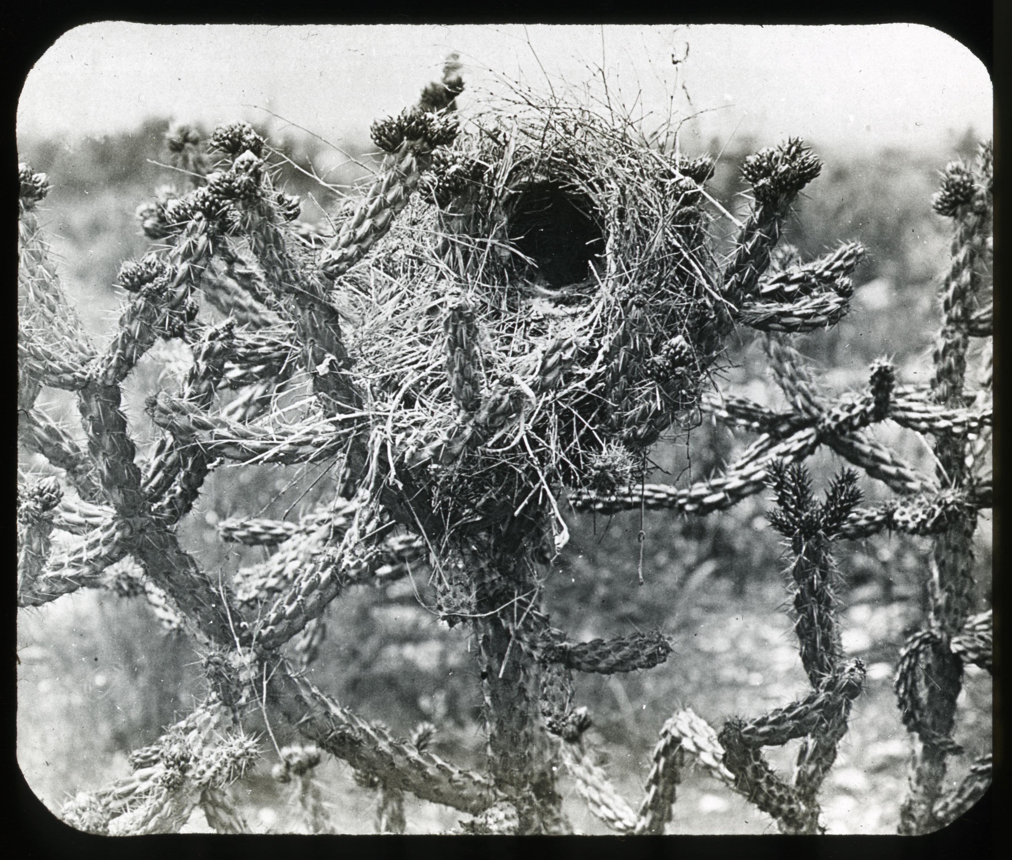 Cactus Wren's nest, Undated, by W.M. Pierce. Glass lantern slide, Lantern Slide #50.