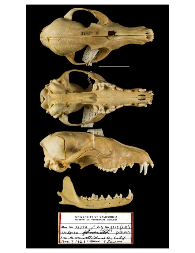 Skull of Vulpes vulpes patwin (MVZ Mammal #33550) collected by Sam Lamme on November 7, 1923, from Colusa County, California.