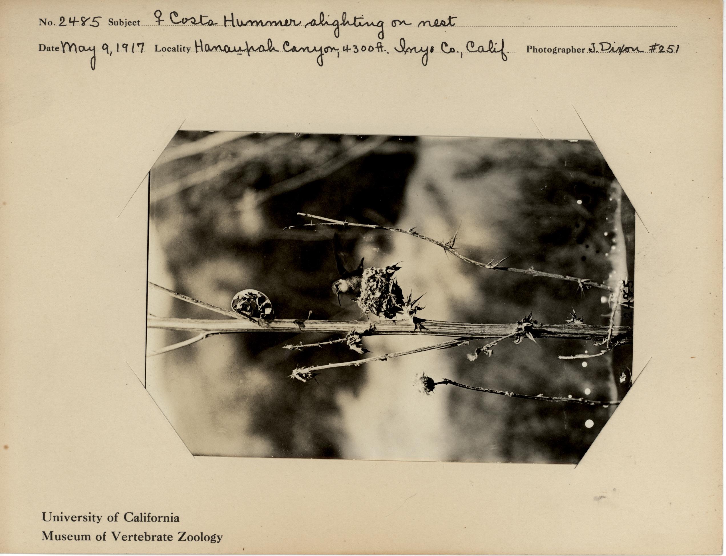 Female Costa Hummer alighting on nest