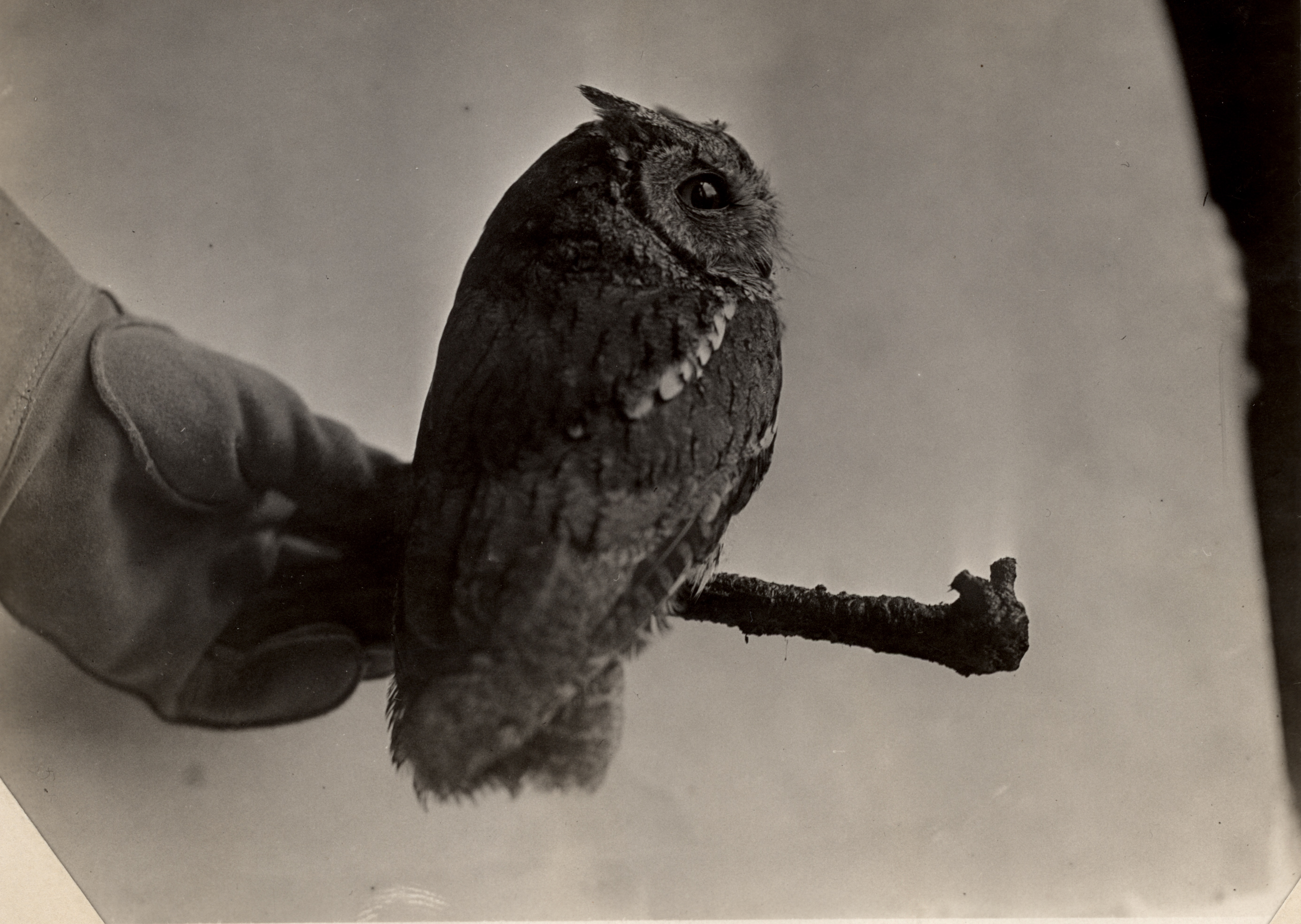 S. Calif. Screech Owl - in life, at Museum; specimen from 6 mi. e. Coulterville, Mariposa Co., Cal., by T. I. Storer, MVZ no. 2017